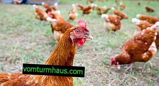 Cómo dar harina de carne y hueso a los pollos