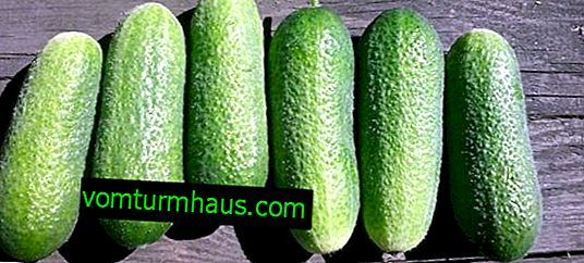 "Cucumbers ""Adam F1"": description, planting and care of the variety"