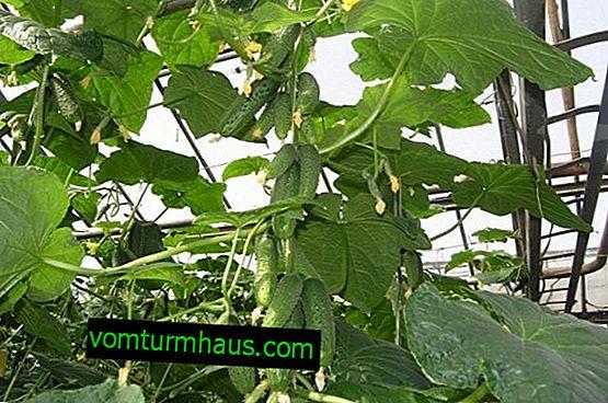 """Pepinos """"German F1"""": descripción de la variedad, cultivo y cuidado"""