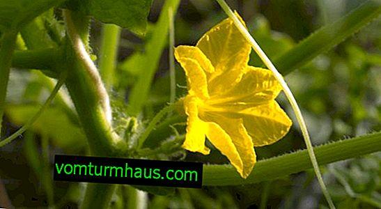 Kaj pa, če je kumara v rastlinjaku prazna?
