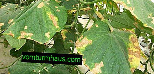 Jak se zbavit hnědých skvrn na listech okurek?