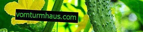 Agurkkonkurrent: beskrivelse og karakteristika for sorten