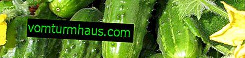 Variation af agurker Claudia F1: beskrivelse, dyrkning og pleje