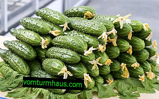 How to feed cucumbers with iodine and milk