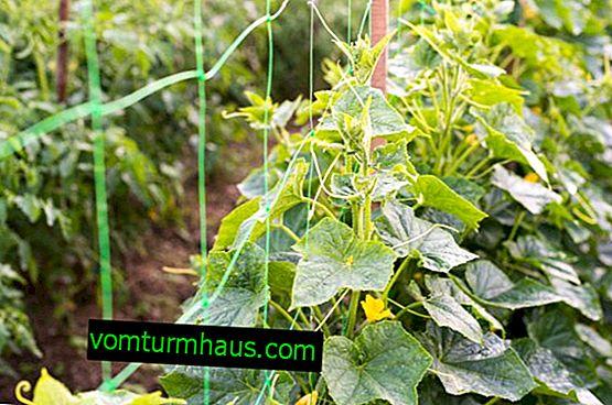 Hur man odlar gurkor på espalier i öppen mark