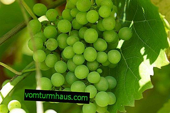 Gröna druvor: användbara egenskaper, de bästa sorterna, hur man förbereder sig för vintern