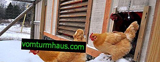 Sådan isoleres hønsegården til vinteren