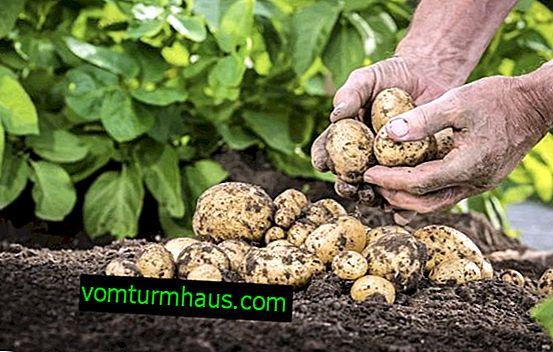 Zgnilizna ziemniaków: źródło infekcji, co robić i jak przetwarzać ziemniaki