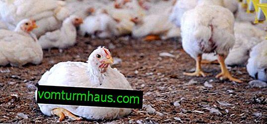 Hvad skal man gøre, hvis høner falder for deres fødder: årsager og behandling
