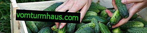 Как да храним краставиците с мая