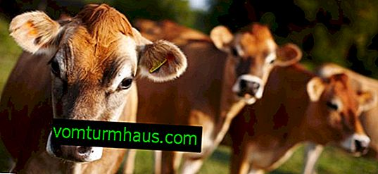 Jersey breed of cows: description, care and feeding