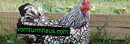 Wyandotte - raza de pollos: características, cría en casa