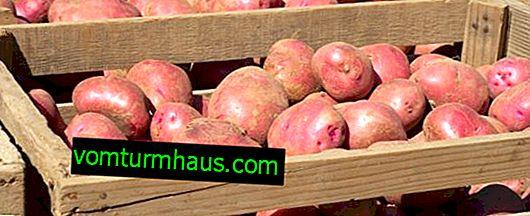 Come conservare le patate in cantina e quanto