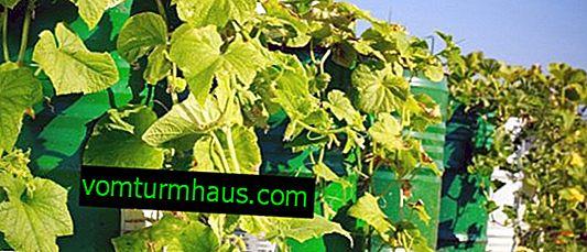 Hur man odlar gurkor i en fat