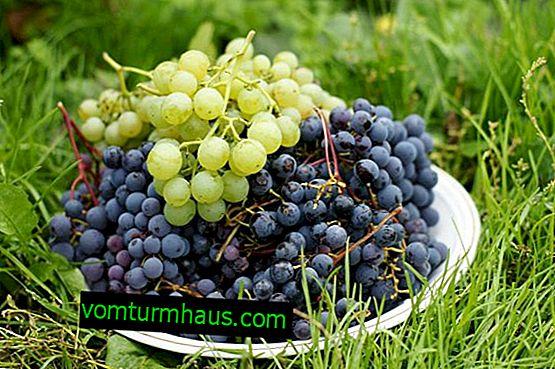Як виростити виноград в Сибіру