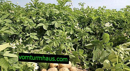 Potato Aurora: คำอธิบายและคุณสมบัติของพันธุ์ที่กำลังเติบโต