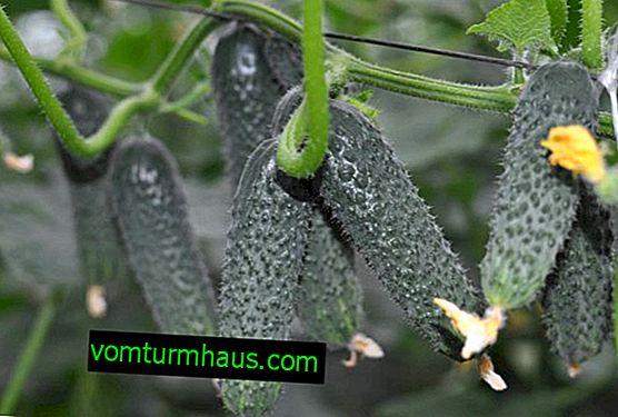 Varietà di cetrioli Lutoyar F1: descrizione e coltivazione della varietà