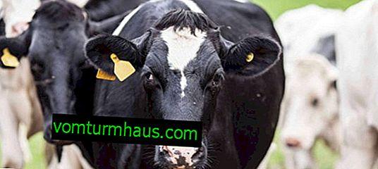 Značajke držanja i hranjenja krava u sušnom periodu