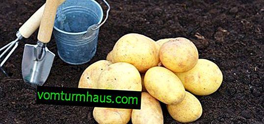 Potato Gingerbread Man: Beschreibung, Anbau- und Pflegeeigenschaften