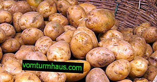 Potato Colombo: beskrivelse, dyrkning og pleje af sorten
