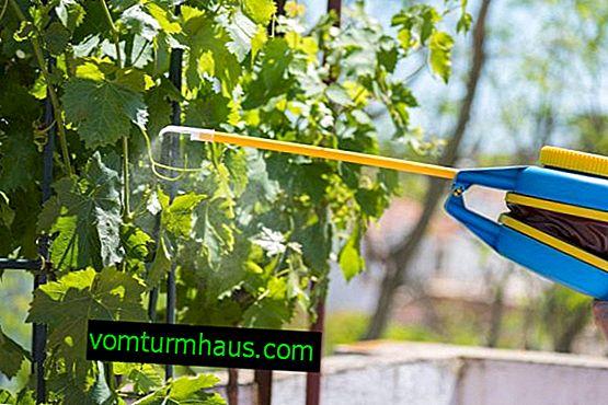 Druvbearbetning på våren - hur sprayar man för att förhindra skadedjur och sjukdomar?
