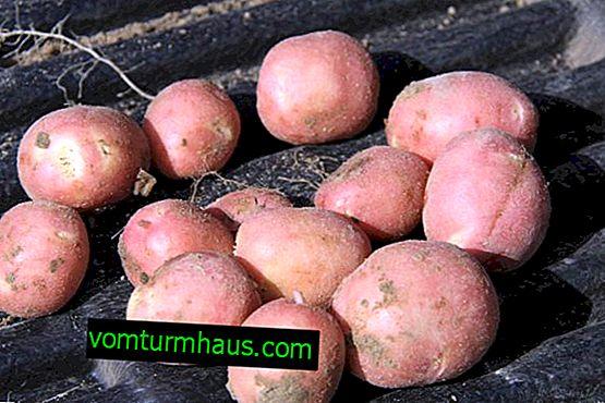 Crveni krumpir: opis i karakteristike sorte