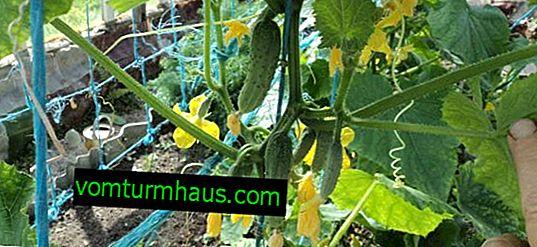 Vlastnosti tvorby okurek ve skleníku