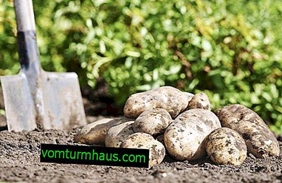 Brezza di patate: caratteristiche della varietà, in particolare coltivazione e cura