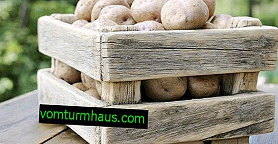 Patata Tuleyevsky: descripción de la variedad, cultivo y cuidado.