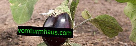Vad ska man göra om aubergine torkar?