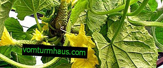 Hranjenje kumar s kalijem: vrste in značilnosti uporabe