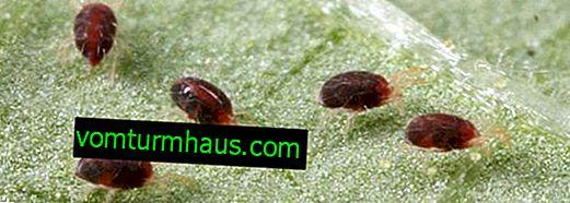 Kryssa på aubergine: beskrivning och kontrollmetoder