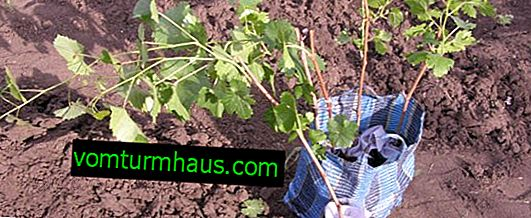 How and when to plant grapes in spring?