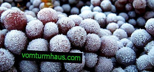 Ali je mogoče zamrzovati grozdje za zimo v zamrzovalniku?