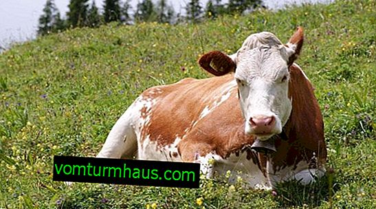 What is leukemia in cows and is it dangerous for humans