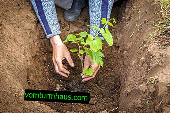 Come e quando piantare l'uva in autunno
