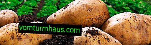 Comment traiter la croûte sur les pommes de terre