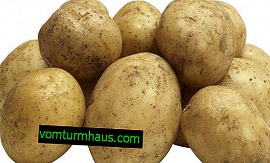 Potato Sante: beskrivelse, træk ved udplantning og dyrkning af sorter
