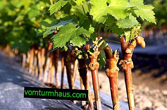 Wie man Trauben mit Stecklingen zu Hause vermehrt