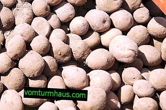Kartoffel Meteor: sortsbeskrivelse, dyrkning og høst