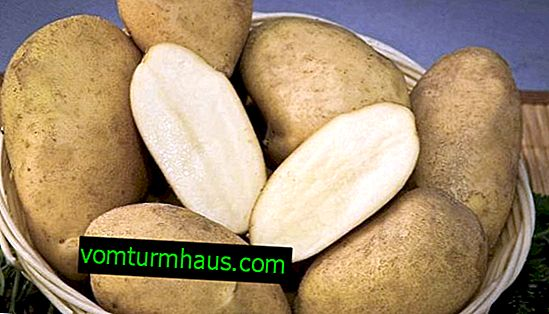Potato Luck: Beschreibung und Merkmale wachsender Sorten