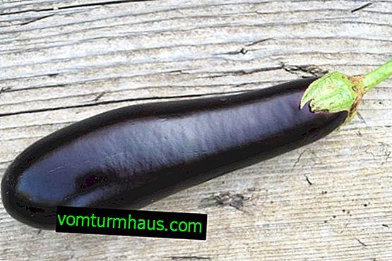 Jajčevci črni Opal: opis in gojenje