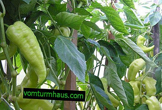Sladká paprika Tusk: opis, výsadba a starostlivosť