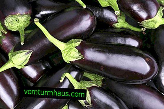 Variedade de berinjela Robin Hood: características, segredos do cultivo bem-sucedido