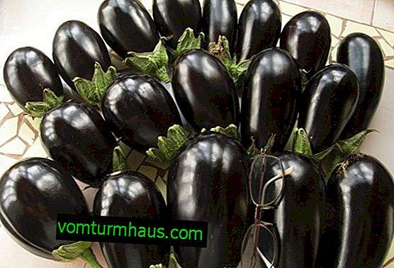 Dyrkning af aubergine nøddeknækker