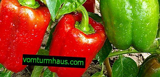 Sød peber Fly: beskrivelse, dyrkning af landbrugsteknikker