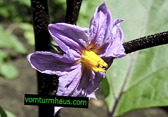 Príčiny pádu kvetov baklažánu