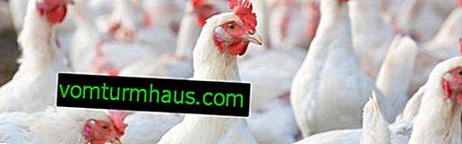 Dekalb White raza de pollos: características, cuidado y alimentación.