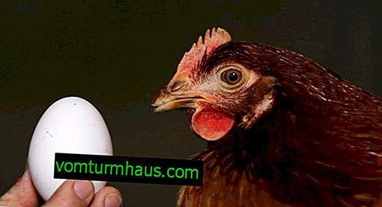Колко яйца носи пиле на ден и колко често се случва това?