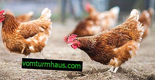 Hvad strøelse skal bruges til kyllinger